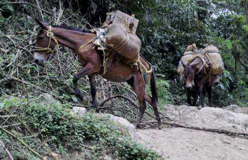 Horses on the Ciudad Perdida Trek